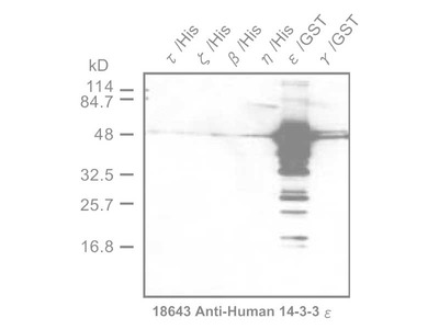 #18643 Anti-Human 14-3-3 ε Protein Rabbit IgG Affinity Purify