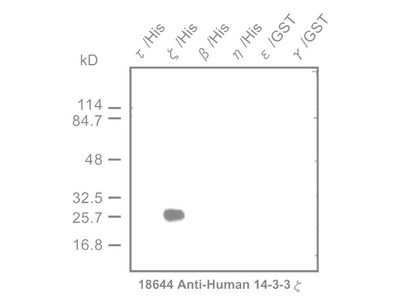 #18644 Anti-Human 14-3-3 ζ Protein Rabbit IgG Affinity Purify