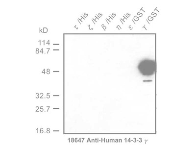 #18647 Anti-Human 14-3-3 γ Protein Rabbit IgG Affinity Purify
