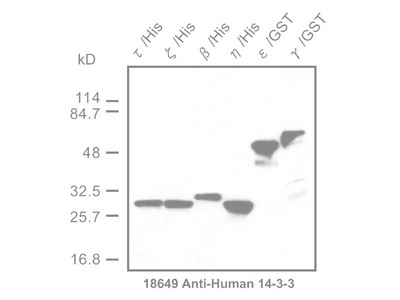 #18649 Anti-Human 14-3-3 Protein Rabbit IgG Affinity Purify