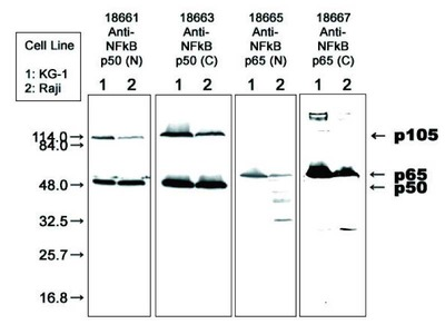 #18661 Anti-Human NFκB p50 (N) Rabbit IgG Affinity Purify