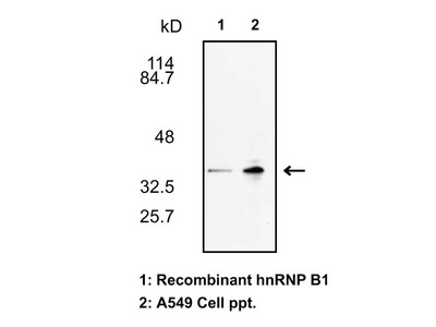 #18941 Anti-Human hnRNP B1 Rabbit IgG Affinity Purify