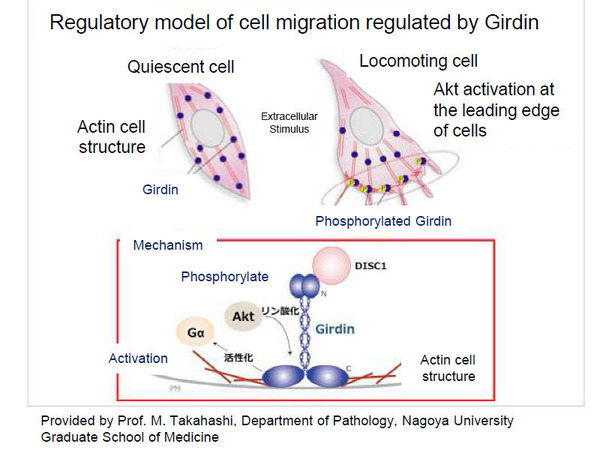 Regulatory model of cell migration regulated by Girdin Photo is provided by Prof. M. Takahashi, Department of Pathology, Nagoya University Graduate School of Medicine