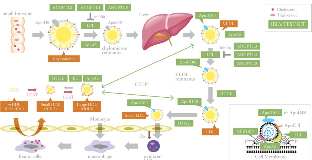 Lipid Metabolism Map